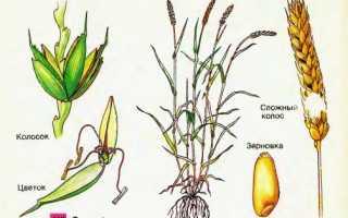 Условия выращивания пшеницы