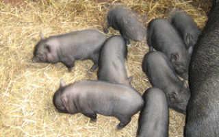 Вьетнамские свиньи отзывы как содержать чем кормить