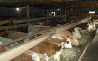 Выращивание бычков на мясо как бизнес отзывы