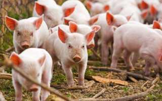 Развитие свиноводства в россии