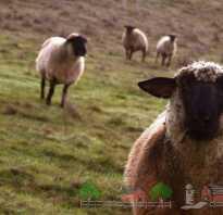 Розведення овець бізнес план