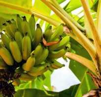 Как вырастить банановое дерево