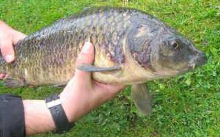 Болезни карповых рыб